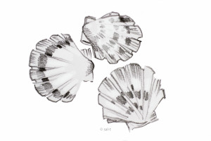 coquilles-vrij-illustraties TIFF-3778-2